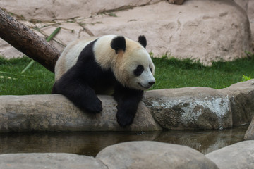 Poster Panda Panda or bamboo bear is one of the cutest animals in the world