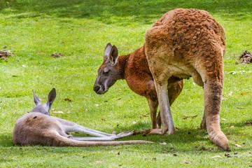 Zoo de la Flèche - Kangourou roux