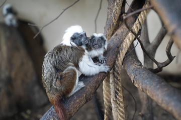 Cotton-headed tamarin in interaction with small baby tamarin. Saguinus oedipus