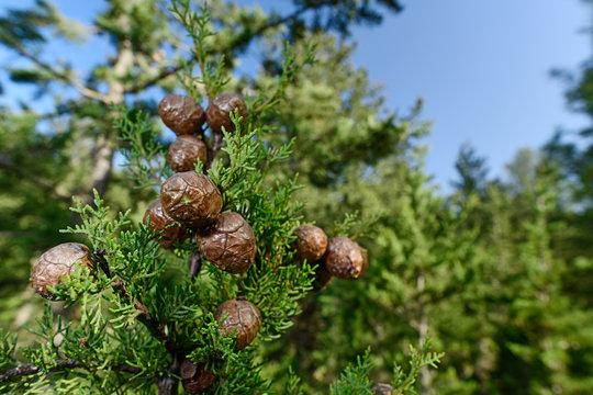Zapfen der Mittelmeer-Zypresse (Cupressus sempervirens) - Mediterranean cypress