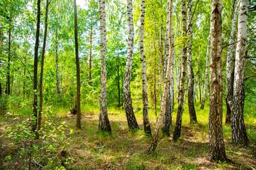 Wall Murals Birch grove under the sunlight - natural landscape.