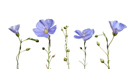 Flax flowers and seed capsules isolated on white background. Linum usitatissimum (common flax or linseed).  Wall mural