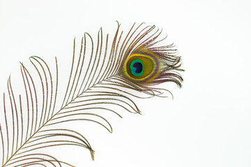 Peacock feather color full isolated nature white background bird