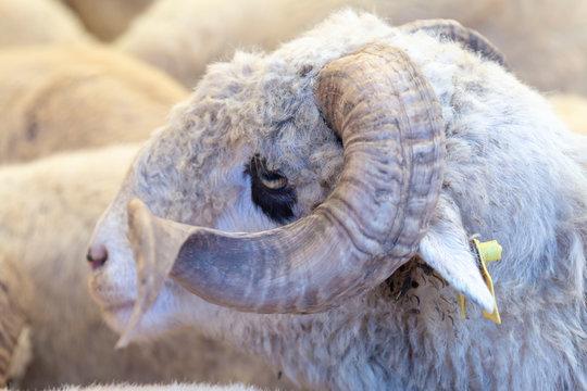 Animal for the Feast of Sacrifice. (Kurban Bayrami, aid al adha )sacrifice holiday. Turkey.