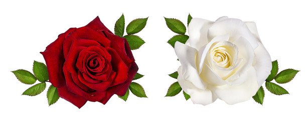Photo sur Aluminium Roses rose isolated on white background