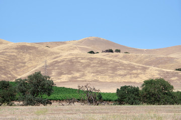 View of the wide central California summer landscape with golden hills and a vineyard with some oak trees and a blue sky above