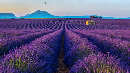 View of the lavender fields