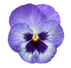 Blue pansy isolated on white background