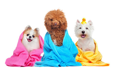 Three dogs in towels after bathing