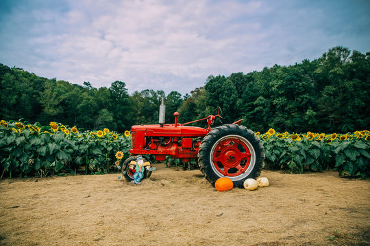 A red vintage old antique tractor in front of a sunflower field with pumpkins and a scarecrow in the Autumn for decoration