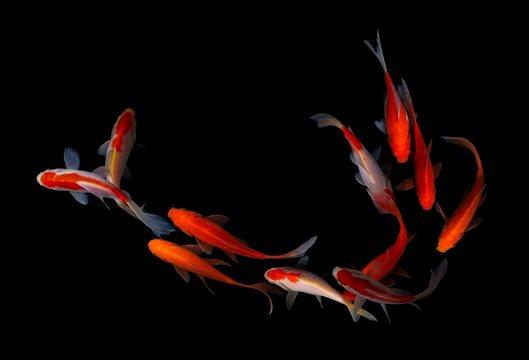 Fish koi gold white background