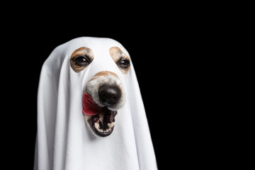 Licking halloween treat or trick funny dog face. Black background. White ghost costume