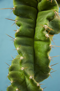 Green cactus flower close-up with nails