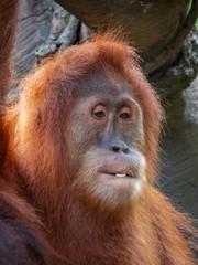 Foto op Aluminium Aap Captive Sumatran Orangutans (Orangutang, Orang-utang)