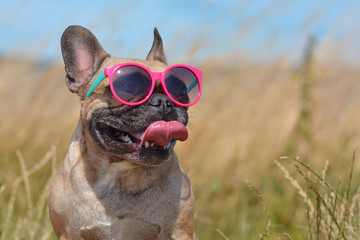Poster Chien Funny cute and happy French Bulldog dog wearing pink sunglasses in summer in front of grain field and blue sky on a hot day