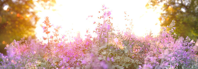 beautiful wild purple flowers in sunshine at sunset. Summer lilac flowers in garden. Nature floral...