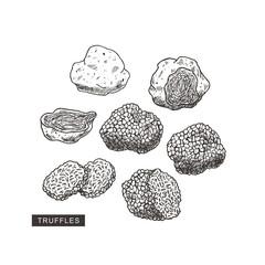 Fototapeta Truffle mushroom vintage illustration. Engraved style. Vector illustration obraz