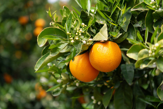 Orange citrus fruit plantation on Peloponnese, Greece, new harvest of sweet juicy oranges