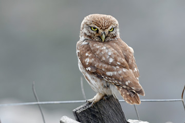 Photo Blinds Owl Steinkauz (Athene noctua) - Little owl