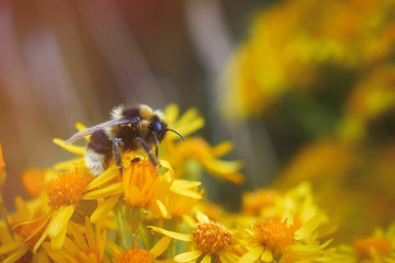 Aluminium Prints Bee Close-up of a bumblebee collecting pollen on yellow flowers
