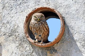 Aluminium Prints Owl Steinkauz (Athene noctua) - Little owl