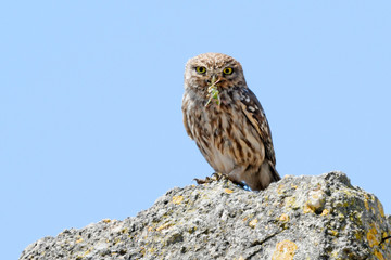 Fototapeten Eule Steinkauz (Athene noctua) mit Beute im Schnabel - Little owl