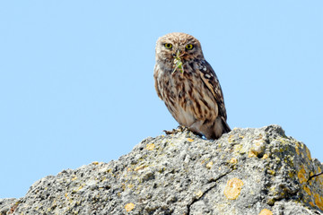 Photo Blinds Owl Steinkauz (Athene noctua) mit Beute im Schnabel - Little owl