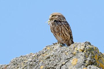 Fototapeten Eule Steinkauz (Athene noctua) mit Heuschrecke als Beute - Little owl