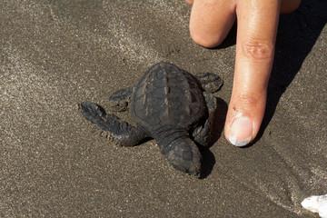 Una pequeña tortuga marina camino al mar