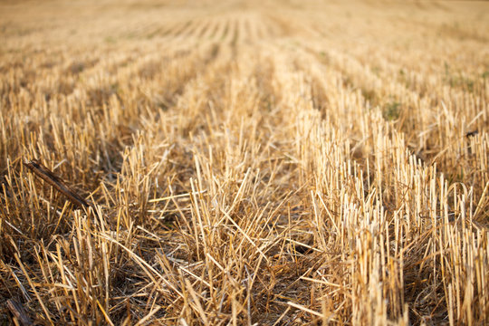 Close-up of the stubble of a mowed wheat field of wheat, rows of ears on a mowed field