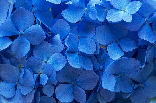 Close up of blue hydrangea flowers