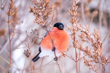 winter bird bullfinch on tree branches feeds on tree seeds