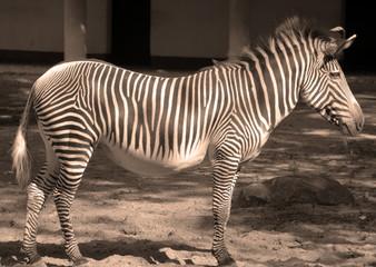 Aluminium Prints Zebra Burchell's zebra is a southern subspecies of the plains zebra. It is named after the British explorer William John Burchell. Common names include bontequagga, Damara zebra and Zululand zebra