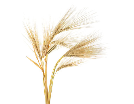 Ears of barley isolated on a white background