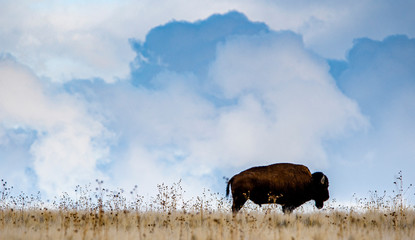 buffalo on cloudy ridge