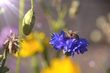 Fototapete - Blumenwiese mit Insekten - Blumen Hummel Biene Wiese
