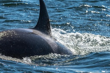 Close-up of an orca swimming in ocean, British Columbia, Canada