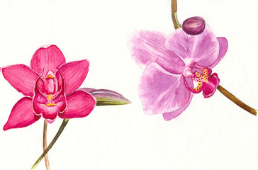 Watercolor picture of  two bright pink orchids