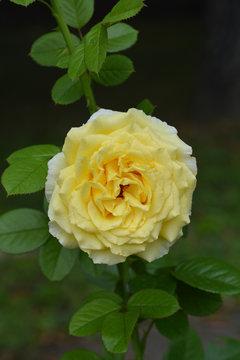 Cyrano de Bergerac Rose