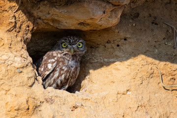 Fototapete - Little owl, Athene noctua, peeking out of a hole