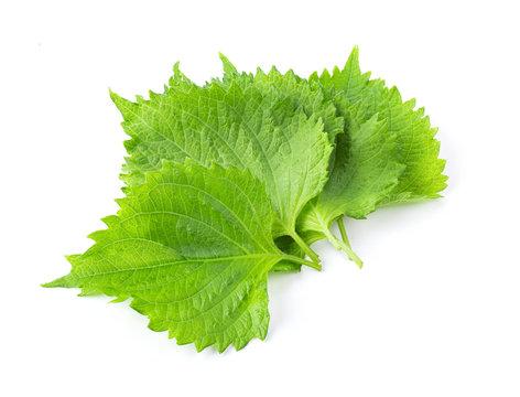 Shiso leaf on white background. full depth of field