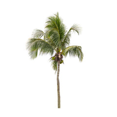 Coconut palm tree photo isolated on white