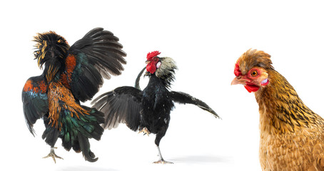 looking chicken on fighting roosters