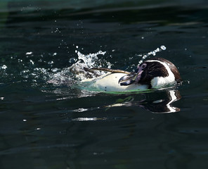 A Humboldt penguin sunbathes at Folly Farm and Zoo, Begelly, Pembrokeshire, Wales