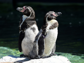 A pair of Humboldt penguins sunbathe at Folly Farm and Zoo, Begelly, Pembrokeshire, Wales