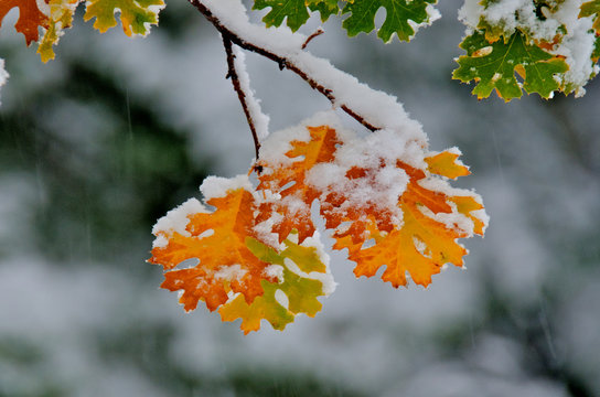 First snow clings to black oak leaves, Camp Connell, Sierra Nevada, California