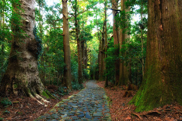 Photo Stands Road in forest Giant Japonica cypress forest