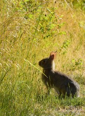 wild rabbit sitting in the sun near a field with tall grass