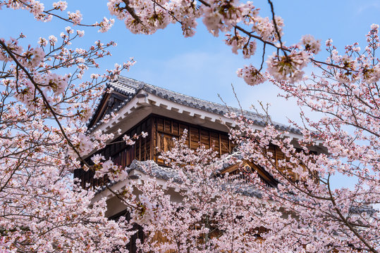 Japan, Shikoku, Matsuyama, view to Matsuyama castle with pink cherry blossoms in the foreground