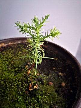 Sequoia baby tree  in a pot